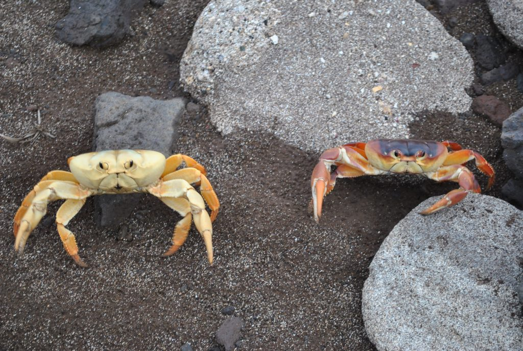 caranguejo_amarelo,_gecarcinus_lagostoma-endemico_da_ilha_da_trindade